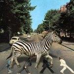 La zebra se venga!